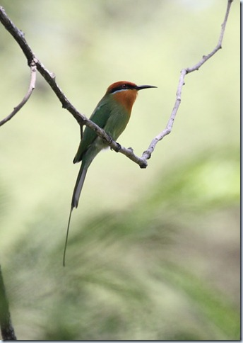 boehms bee-eater