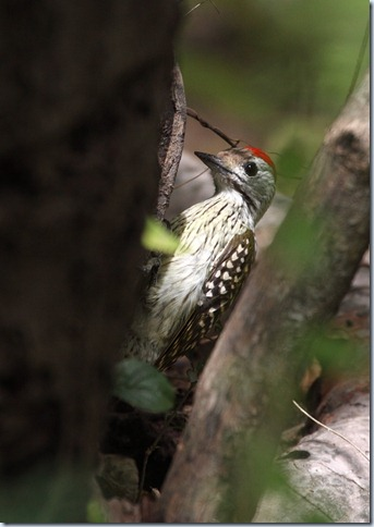 cardinal woodpecker