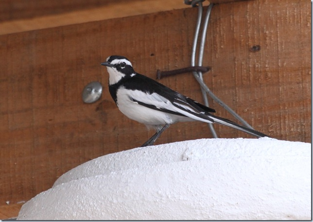 african pied wag