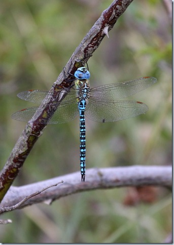 southern_migrant_hawker1