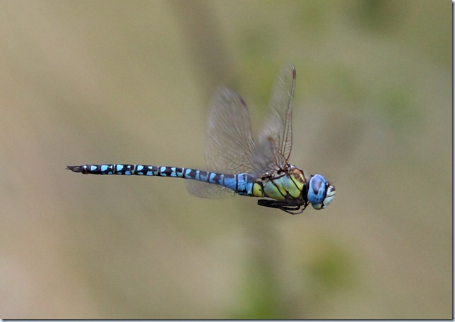 southern_migrant_hawker4