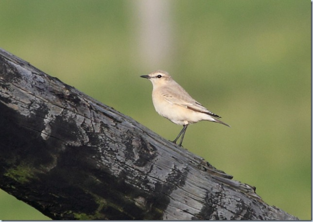 isabellline_wheatear2