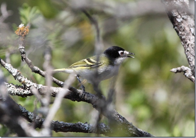 black_capped_vireo1