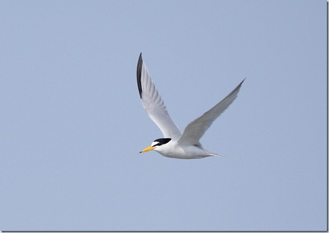 least_tern