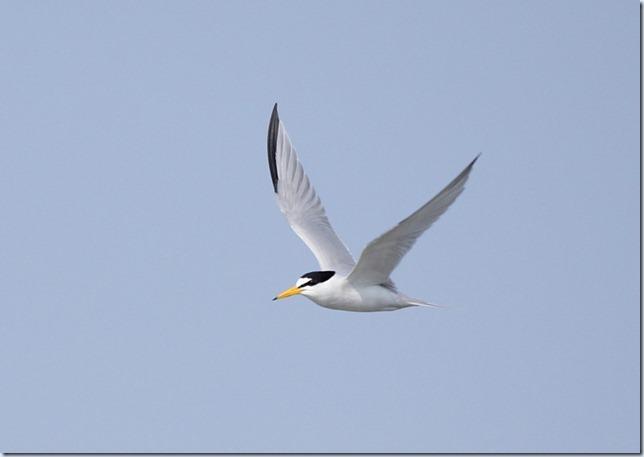 least_tern