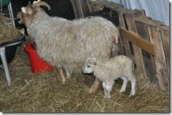first lamb 2010 003