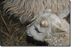 first lamb 2010 009