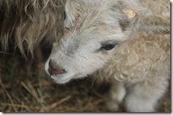 first lamb 2010 008