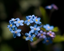 forgetmenotheart