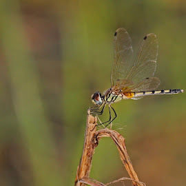Dragon fly by Palash Halder - Animals Insects & Spiders