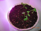 14 day greens LED side, after thinning. One spinach emerged today