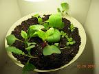 Note center radish stem already fattening / split. Lettuce leaves not doing too well - too hot/dry?