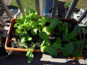 mustard / spinach / beet / lettuce growbox