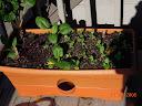spinach / chard / beet / toy choi growbox