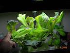 6 week Korean curl lettuces, getting leggy