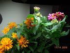 15 week profusion zinnias - removed 1 plant, remaining cherry getting brighter