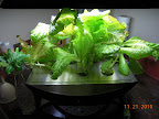 7 week Korean curl lettuces still producing, vinca rooting to left