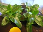 2 week (in mini) vinca cuttings - flower buds should open soon