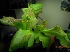 4 week KRC lettuce