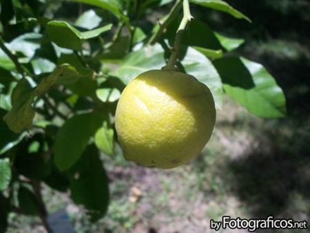 foto-limón