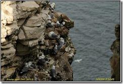Bempton Cliffs D300s  01-04-2011 13-57-08