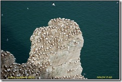 Bempton Cliffs D50  01-04-2011 13-10-10