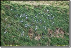 Bempton Cliffs D50  01-04-2011 13-50-58