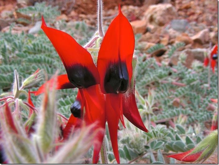 20090605-13-23-34-outback2009-arkaroola--sturts-desert-pea