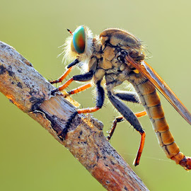 The Veteran | RobberFly by Andri Priyadi - Animals Insects & Spiders ( macro, indonesia, nikkor, nikon, insect, robberfly )