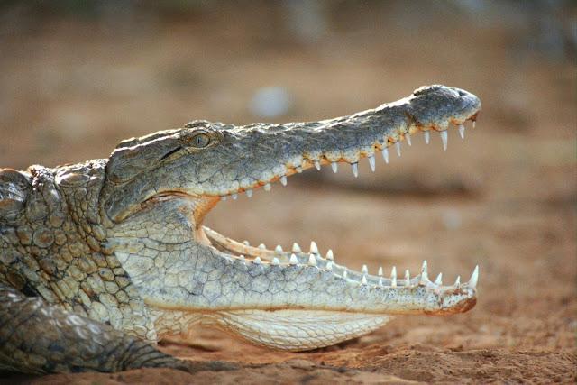(Crocodile),Wild Animals Wallpapers 1600×1067