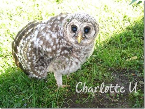 baby_owl4