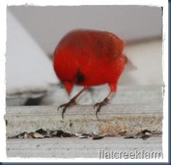 cardinal_contemplates