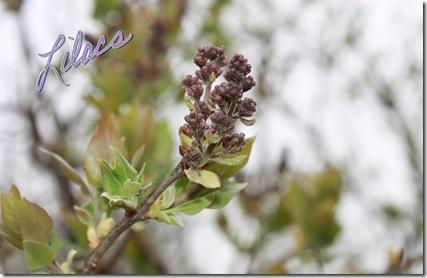Lilacs 4-1-09