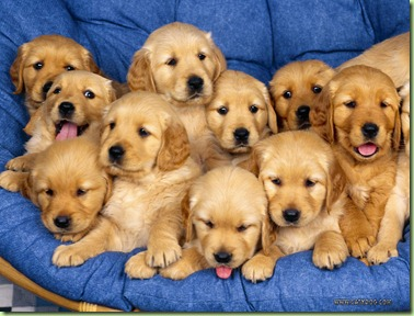 golden-retriever-puppies