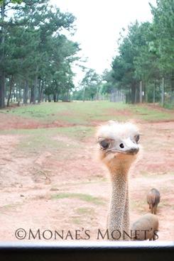 Ostrich blog