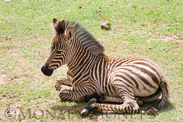 Zebra blog