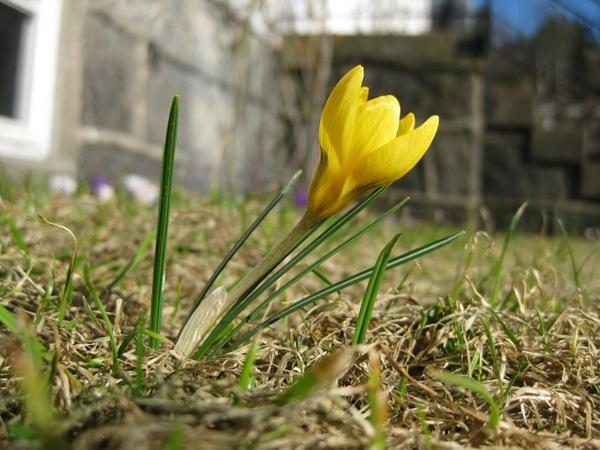 2010-03-29 Vårblomster i sola (7)