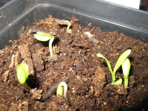 2010-05-01 Dahlia, frøplanter (1)