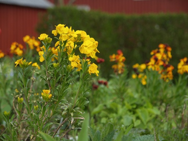2009-05-10 Gyldenlak (39)