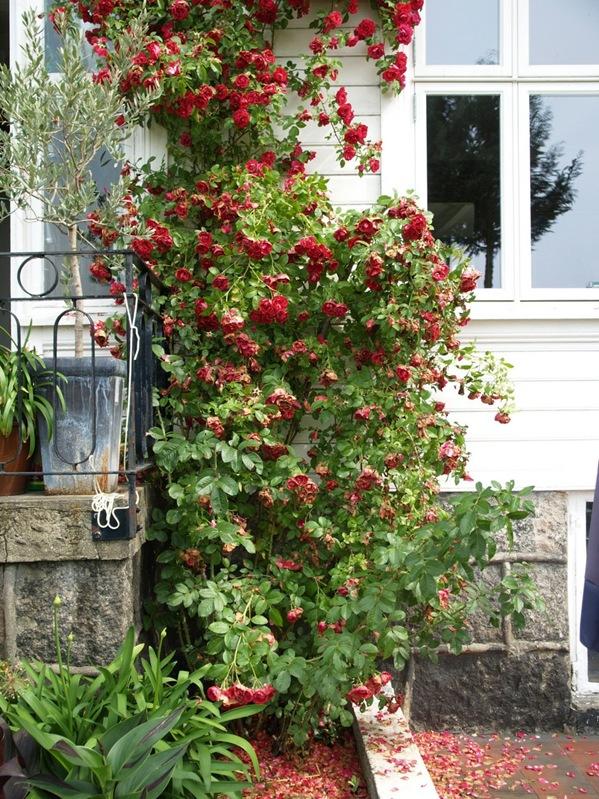 2010-07-21 Rosa 'Flammentanz'