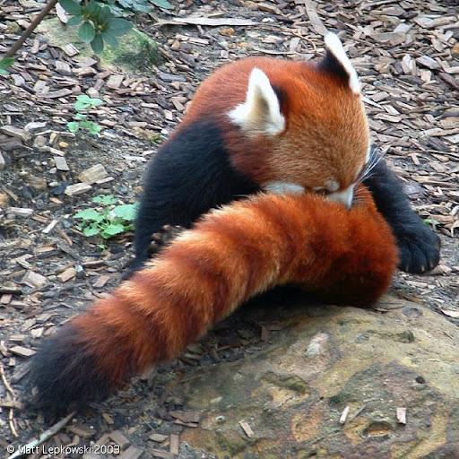 Conheça o Fire Fox! Zoo-red-panda-01