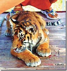 china-tiger02