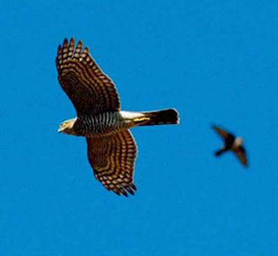 águila coabarrada