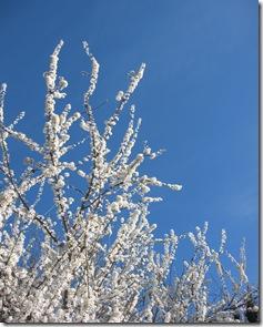 Branche prunier fleurs