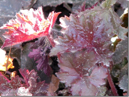 heuchera,plum pudding