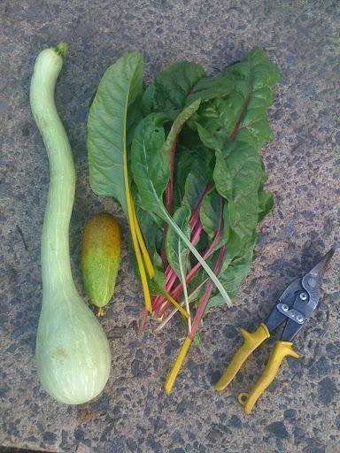 Poona Kheera Cucumber is Very Prolific! Photo-705086