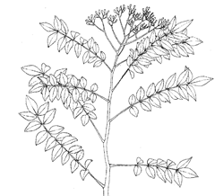 Murraya koenigii (L.) Spreng. (Rutaceae)