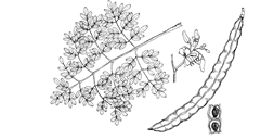 Moringa oleifera Lam. (Moringaceae) Benzolive Tree, Drumstick Tree, Horseradish Tree, West Indian Ben