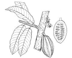 Theobroma cacao L. (Sterculiaceae)