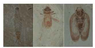 Fossil insects are easily recognizable today, indicating an early establishment of a successful design. Left to right: Heplagenes (Late Jurassic 150 mya, Liaoning, China); cricket (Eocene, 50 mya, Green River formation, Utah); fulgorid (Eocene, 50 mya, Green River formation, Utah).